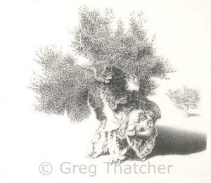Olive Tree - Greg Thatcher Gallery