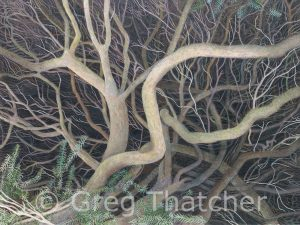 Yew Boughs - Greg Thatcher Gallery